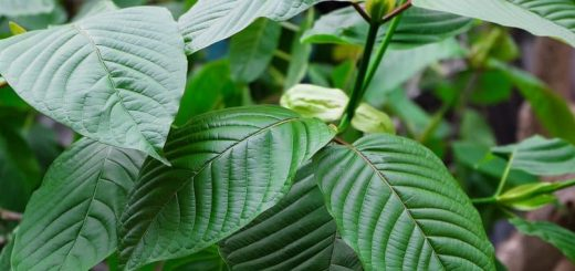 Interesting things about kratom
